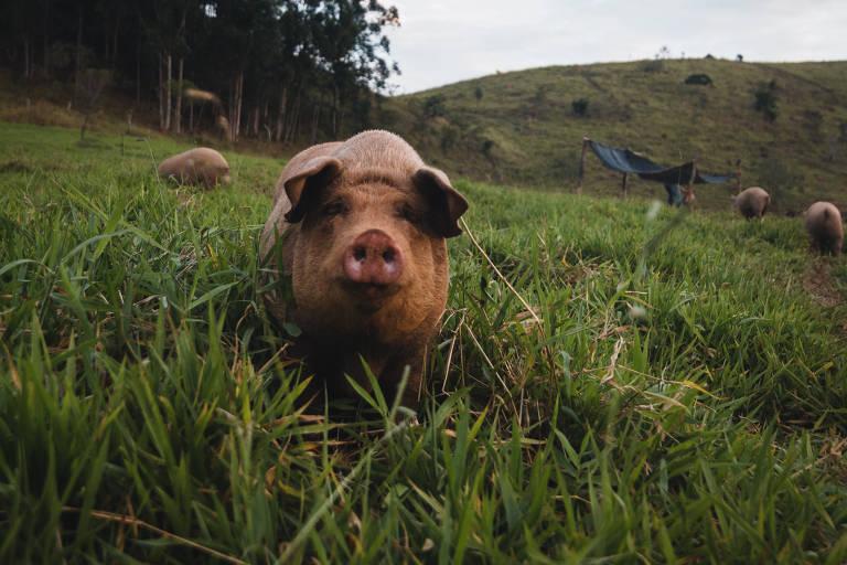 O porco é a bola da vez