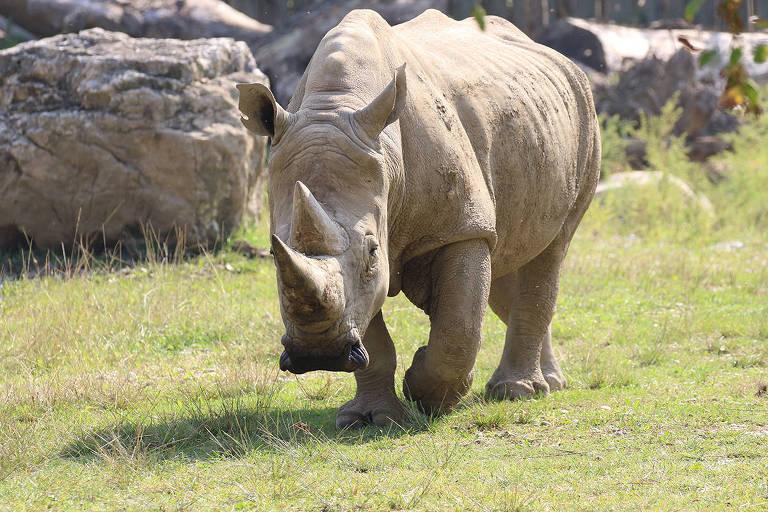 Rinoceronte-branco caminha em gramado