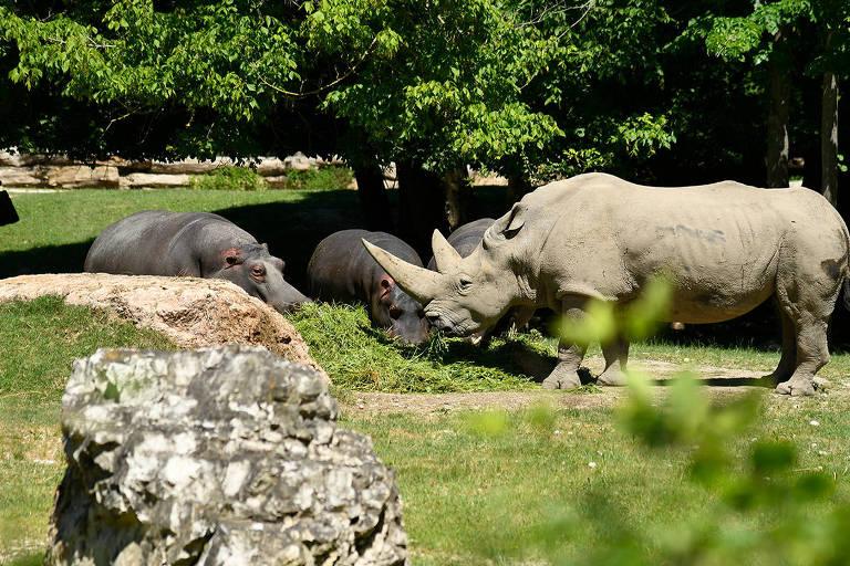 Rinoceronte-branco com outros animais em meio a árvores