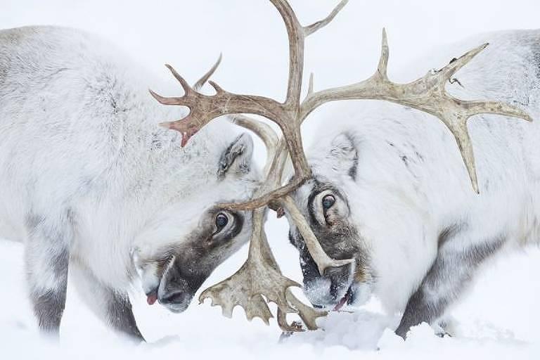 Renas de Svalbard, no ártico norueguês, brigam pelo controle de um harém
