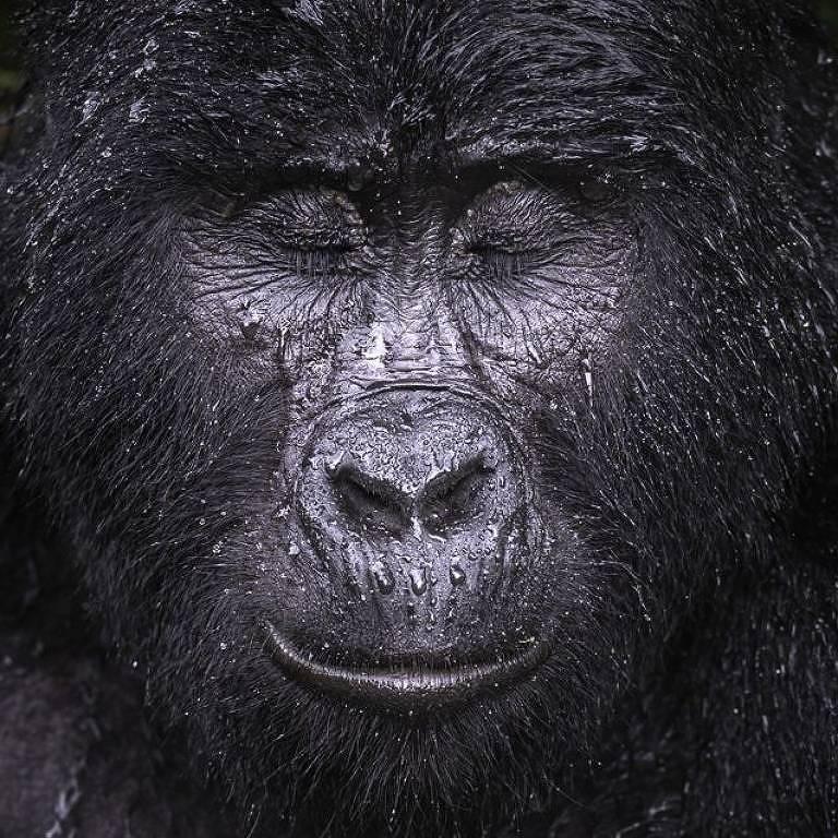 Kibande, gorila da montanha de quase 40 anos