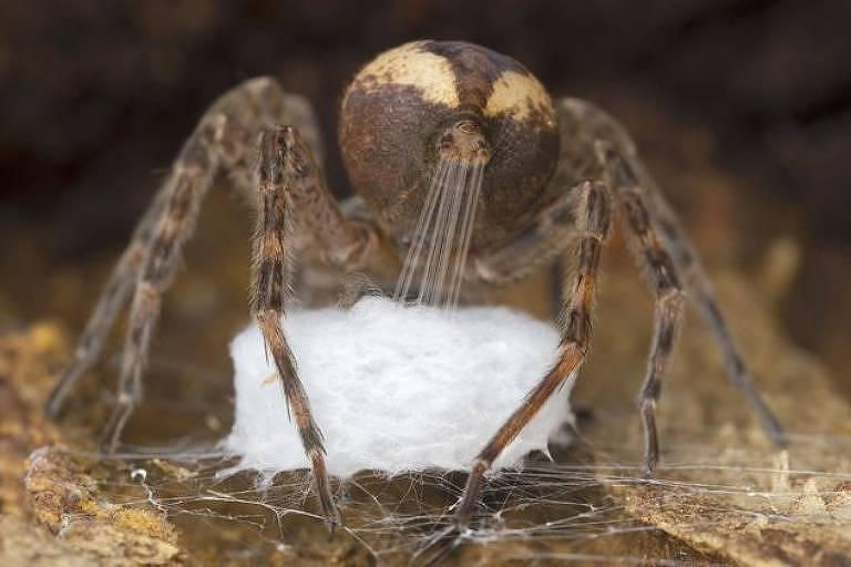 Imagem de aranha dolomedes