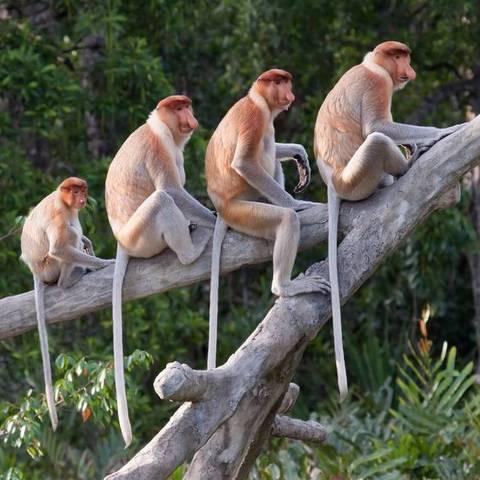 Os macacos têm rabo, ao contrário dos humanos e dos grandes símios ***FOTO DA BBC NEWS BRASIL - NÃO USAR***