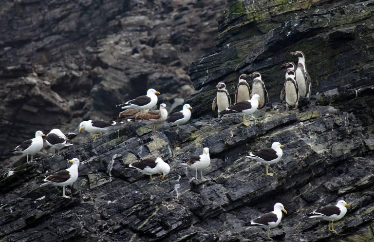 Pinguins de Humboldt na costa de Punta Choros, em La Higuera, Chile. Região abriga 80% da população mundial de pinguins de Humboldt —em perigo de extinção— em suas oito ilhas. Três delas são protegidas como reserva nacional.