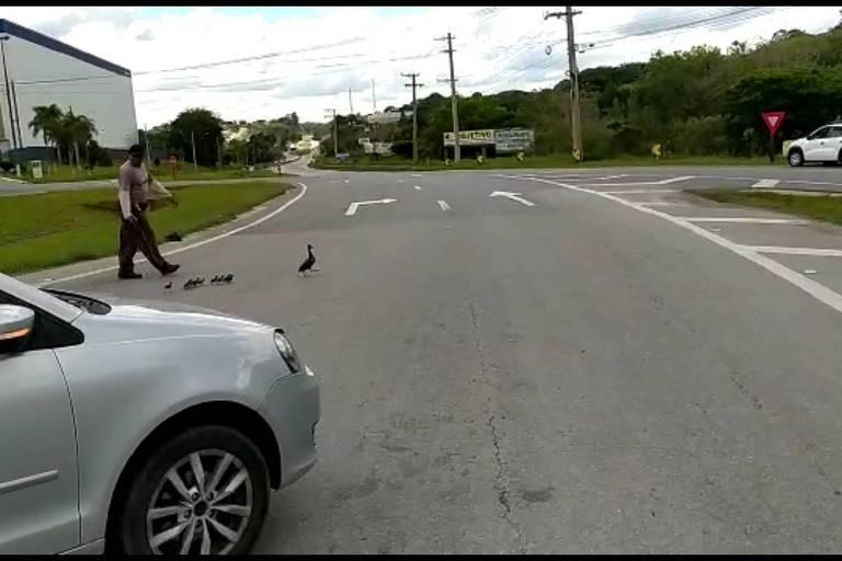 Trânsito para em rodovia paulista para travessia de família de patos; veja vídeo