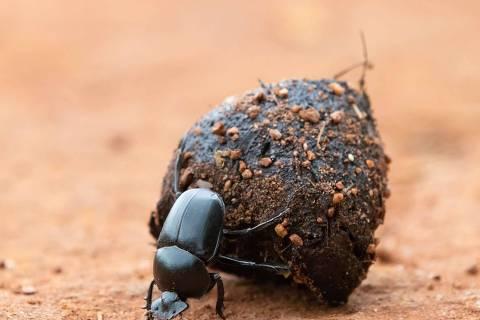 O rola-bosta-africano nome científico: Digitonthophagus gazella é um besouro rola bosta, coprófago que pertence à família Scarabaeidae. ( Foto:Matthias/Adobe Stock )