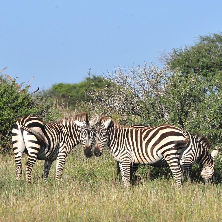 Cientistas usam listras como 'código de barras' para censo de zebras na Quênia